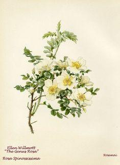 WILLMOTT 1914 Rosa spinossissima
