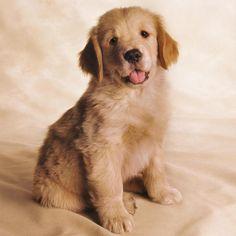 golden retriever cucciolo - Cerca con Google