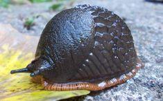 The hedgehog slug
