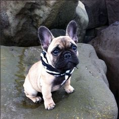 french bulldog rescue wi boxer german shepherd mix puppies pictures cute animals 3376