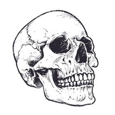 Find Anatomic Skull Vector Art Detailed Handdrawn stock images in HD and millions of other royalty-free stock photos, illustrations and vectors in the Shutterstock collection. Skull Reference, Drawing Reference, Drawing Drawing, Drawing Ideas, Tattoo Drawings, Art Drawings, Drawings Of Skulls, Skull Stencil, Totenkopf Tattoos