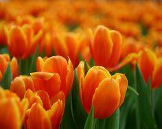 Tulip orange tulip flowers on the grdern natural wallpaper – HD ...