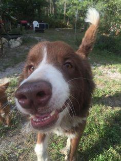 Lost Dog - Australian Shepherd - Lehigh Acres, FL, United States