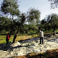 #balıkesir #ayvalık 2007 #zeytinagaci #hasat #ayvalikhasatgunleri #zeytinhasati #oleaceae #harvest #zeytinhasatsenligi #sırıkcı #oliveoil #aegen #nature #cunda #olive #zeytin #aleaeuropaea