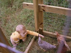 babies and pullets #chickens