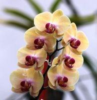 Održavanje i nega sobnih orhideja - svetlost, temperatura, presađivanje...