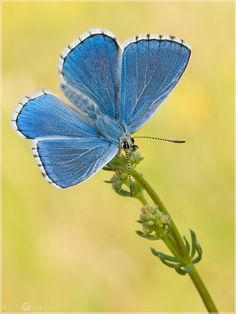 Himmelblauer Bläuling - Polyommatus bellargus von arik37 (GDT)