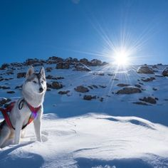 Discover the Secret to Getting Your Siberian Husky to Listen! - siberian husky #husky #siberianhusky