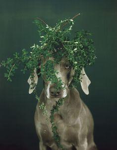 William Wegman, Nature Wear, 2005