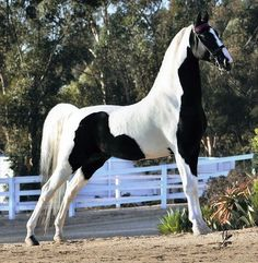 Missouri Fox Trotter Stallion, Black & White