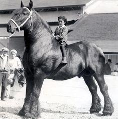 percheron--now that's what i call a big horse!