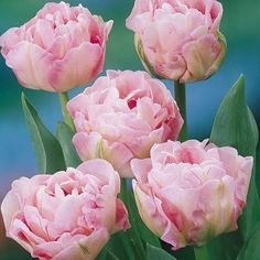 Angelique Tulip Bulbs For Sale All Flowers, Spring Flowers, Beautiful Flowers, Wedding Flowers, Peony Flower, My Flower, Tulip Bouquet, Tulip Bulbs, Pink Petals