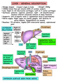 Instant Anatomy - Abdomen - Areas/Organs - Biliary system - Gall bladder Relation to liver