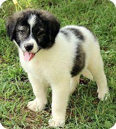 8/26/14 Windham, NH - Great Pyrenees/Australian Shepherd Mix. Meet Alexander, a puppy for adoption. http://www.adoptapet.com/pet/11451932-windham-new-hampshire-great-pyrenees-mix