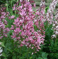 BURNING BUSH * GAS PLANT * Dictamnus fraxinella purpureus * GORGEOUS * SEEDS