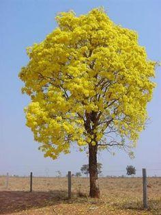 Lindo de se ver. Eu tenho dois ipês amarelos na minha chacrinha em Goiás.Ipê-Amarelo, Brazil