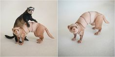 Realistic (BJD) Ferret. Size at the back 4-7cm. Full body painting, eyes included! Ferret is very mobile, well-kept postures (standing, sitting,