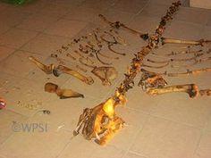 tiger bones