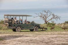 Wild dogs playing around a ganedrive vehicle at Chitabe in the Okavango delta of Botswana