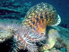 Eau de giant-sea-snail isn't likely to take off as a popular choice of fragrance for human use, but it could become a major new weapon in the battle to maintain the Great Barrier Reef and the variety of sea life it hosts.
