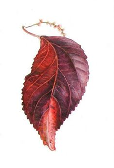 Expressive lines in Jacob's Coat Leaf,Acalypha wilkesiana, watercolour painting by Shevaun Doherty