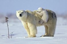 Baby polar bear is hitching a ride on his mom