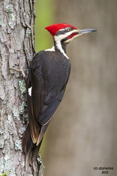 La constancia de un woodpecker. Pileated Woodpecker (male) I saw this beautiful bird a the start of my run yesterday. Cody pointed it out to me. Pretty Birds, Love Birds, Beautiful Birds, Exotic Birds, Colorful Birds, Bird Identification, Backyard Birds, Bird Pictures, Fauna