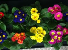 Fear not Northerners, Primula are in! I just picked up 10 for $20. Enjoy them indoors for now, plant outside in spring in those boring shady areas. Don't forget to fertilize while blooming! Another fun shade plant! Have this as my wall paper now