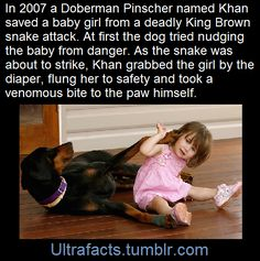 In 2007 a Doberman Pinscher named Khan was rescued from an animal shelter. Just four days later he would save his new owner's baby girl from a deadly snake attack.