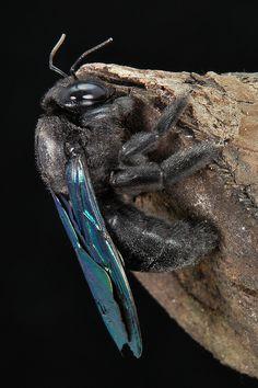 ˚Carpenter Bee (Xylocopa sp., Apidae)