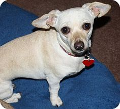 Los Angeles, CA - Dachshund/Chihuahua Mix. Meet Cookie - 8.8 lbs!, a dog for adoption. http://www.adoptapet.com/pet/16776712-los-angeles-california-dachshund-mix