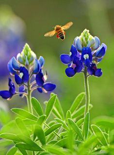 Bluebonnets with hummingbird moth.
