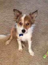 SHELBY is an adoptable Shetland Sheepdog Sheltie Dog in Columbus, OH. � � ����������������������������������������������������� SHELBY Good with Kids? Yes Good with other dogs? Yes Good with cats? Pro...