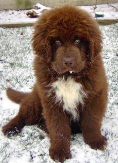 Chocolate Newfoundland Puppy