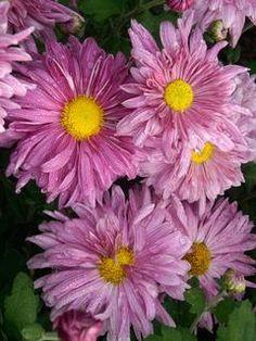Chrysanthemum Tenderness