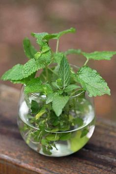 Growing a new mint plant from cuttings is easy and fast. Cut a healthy spring, root it, and plant. Let me show you how in this picture tutorial. #LadyLeesHome