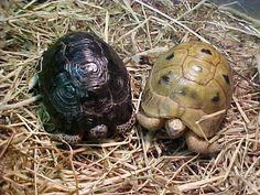 Black and Golden Greek Tortoises.