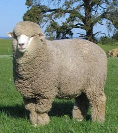 corriedale sheep - Google Search