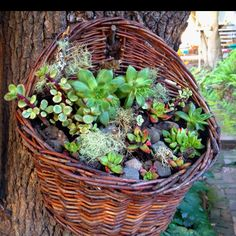 Succulent clippings and lichen in a hanging basket on a tree = nice to look at and grows too!