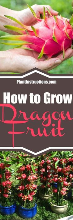 Learn how to grow dragon fruit with our gardening guide. Perfect for the garden or pots if you live in a cooler climate, this fruit is easy to grow! via @plantinstructio