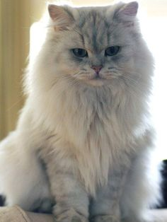 black long haired cat | sundust cats - british shorthair cattery - (640x425 - 109kB)