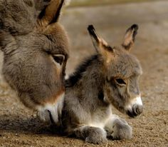 Adorable Baby Donkey & his Momma!