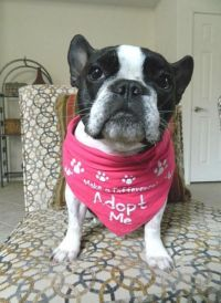 French Bulldog Rescue, Please Support Adoption too.