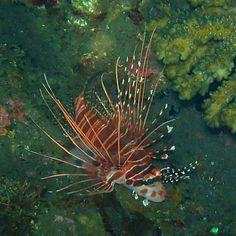 Lion fish #scuba #underwater #lolo