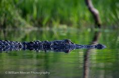 Gator in the Okeefenokee Swamp by William Mercer Photography. Submitted via Flickr.