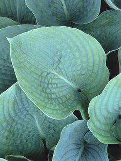 Hosta - container plant that gets big and likes the shade!