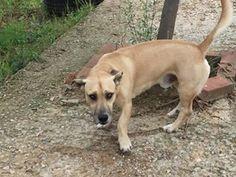 Βρέθηκε στο Ρετζίκι επί της Βοσπόρου με Βούλγαρη αρσενικό σκυλάκι με σκάλιμπορ