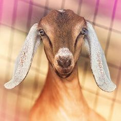 Goat Featured Images - Beautiful Taffy  by TC Morgan