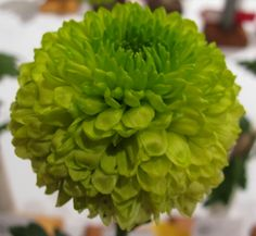 January care for chrysanthemum plants. Picture of Class 6 green pompon Yoko Ono