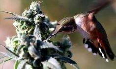 Stoner hummingbird